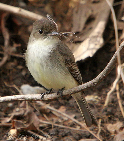 Eastern Phoebe  Busch Wildlife CA Hampton Lake  See all this day's Photos Here