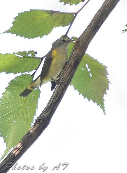 American Redstart (Female) <br /> Unger Park - St. Louis County