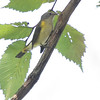 American Redstart (Female) <br /> Unger Park - St. Louis County