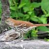 Brown Thrasher <br /> Busch Wildlife CA<br /> Lake 6
