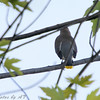 Cedar Waxwing <br /> Busch Wildlife CA<br /> Hampton Lake