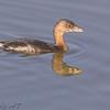 Pied-billed Grebe <br /> Adult nonbreeding (Sep-Mar)<br /> Riverlands Migratory Bird Sanctuary