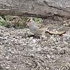 Chipping Sparrow <br /> Busch Wildlife CA<br /> Lake 6