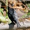 Brown-headed Cowbird (Male) <br /> Katy Trail Parking Lot<br /> Weldon Springs