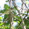 Blue-headed Vireo <br /> Unger Park - St. Louis County