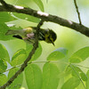 Black-throated Green Warbler <br /> J.S. McDonnell Park, St. Louis County