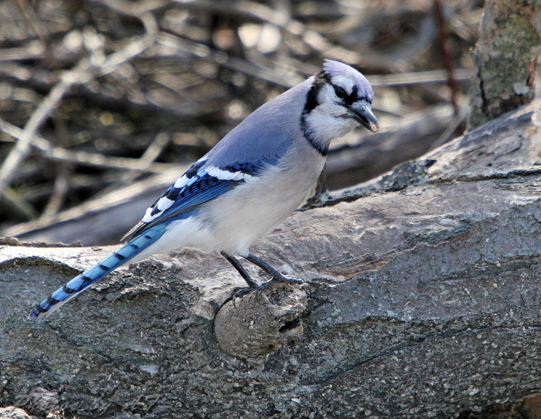 Blue Jay  <br /> Busch Wildlife Conservation Area