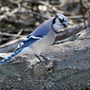 Blue Jay  <br /> Busch Wildlife Conservation Area