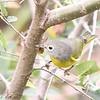 Nashville Warbler (Female) <br /> Unger Park - St. Louis County