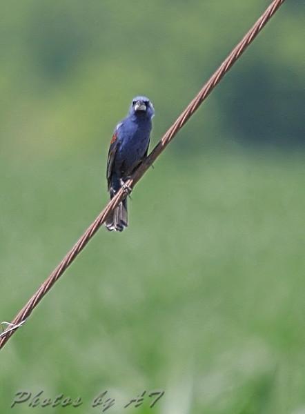 Blue Grosbeak <br /> Weldon Springs