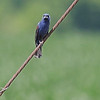 Blue Grosbeak <br /> Weldon Springs