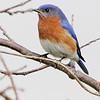 Eastern Bluebird <br /> Busch Wildlife CA