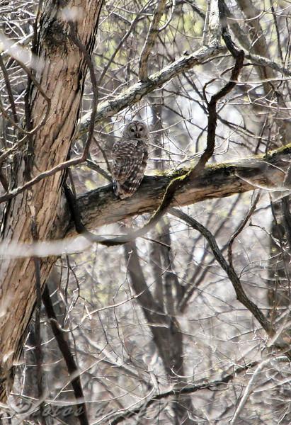 Barred Owl <br /> Busch Wildlife CA