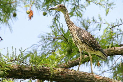 Yellow-crowned Night-Heron (Juvenile) <br /> Forest Park, St. Louis, Mo.