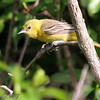 Orchard Oriole (Female) <br /> Lake 6 Busch Wildlife Area