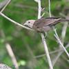 Brown-headed Cowbird (Female) <br /> Busch Wildlife Area