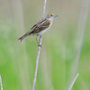 Dickcissel (Female) <br /> Road to confluence
