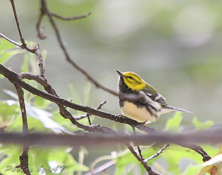 Black-throated Green Warbler (Male) <br /> Bridgeton