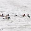 Mallard and Redhead ducks <br /> Riverlands Migratory Bird Sanctuary