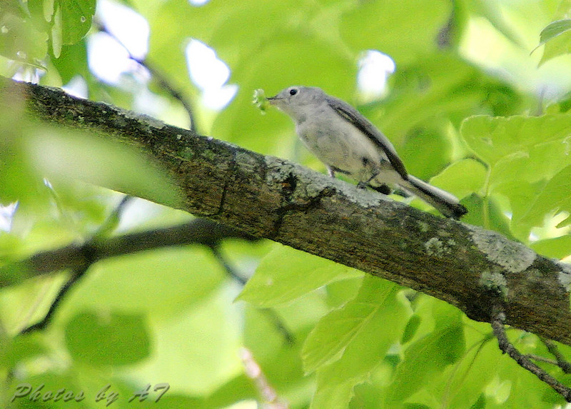 Blue-gray Gnatcatcher <br /> Hopping thru the tree tops, very active.<br /> J.S. McDonnell Park, St. Louis County
