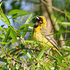 Orchard Oriole - immature male <br /> Creve Couer Lake Marsh