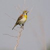 Dickcissel (Male) <br /> Road to confluence