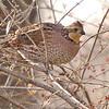 Northern Bobwhite (Female) <br /> Creve Couer Marsh