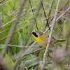Common Yellowthroat  (Male)<br /> Creve Couer Lake Marsh