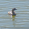 Pied-billed Grebe <br /> Adult breeding (Feb-Sep)<br /> Riverlands Migratory Bird Sanctuary