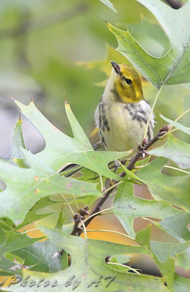 Black-throated Green Warbler (Female) <br /> Bridgeton