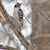 Downy Woodpecker (Female)<br /> St. Charles County