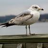 ? Gull<br /> Solomons Island<br /> Maryland