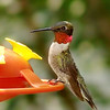 Ruby-throated Hummingbird (Male)<br /> Bridgeton, Mo.