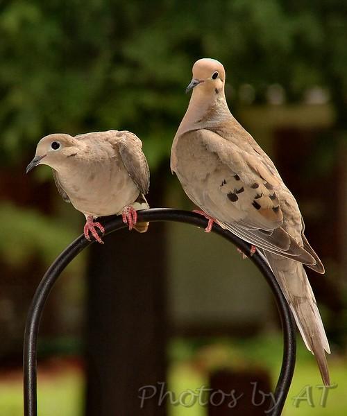 Morning Dove<br /> Bridgeton, Mo.