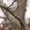White-breasted Nuthatch<br /> St. Charles Couny
