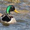 Mallard (male)<br /> Creve Couer Lake