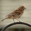 House Finch (Female)<br /> Bridgeton, Mo.