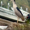 Black-crowned Night-Heron<br /> Creve Couer Lake