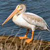 American White Pelican<br /> Riverlands Migratory Bird Sanctuary