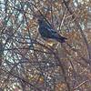 Red-tailed Hawk<br /> Bridgeton, Mo.