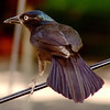 Common Grackle<br /> Bridgeton, Mo.