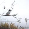Belted Kingfisher<br /> Lake 33<br /> Busch Wildlife CA