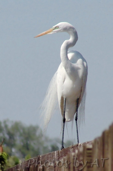 Great Egret<br /> Creve Couer Lake