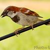 House Sparrow<br /> Bridgeton, Mo.