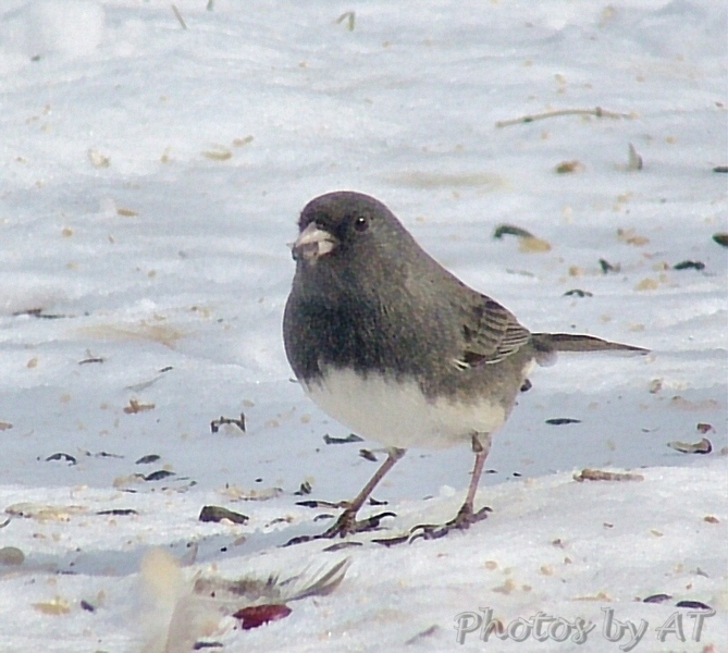 Dark-eyed Junco (Male)<br /> Bridgeton, Mo.