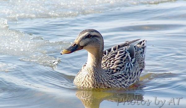 Mallard (Female)<br /> Mallard Lake (Creve Couer)