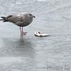 Herring Gull<br /> Riverlands Migratory Bird Sanctuary <br /> 2005-12-27<br /> <br /> No. 42 on my Lifetime List of Bird Species <br /> Photographed in Missouri