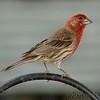 House Finch (Male)<br /> Bridgeton, Mo.