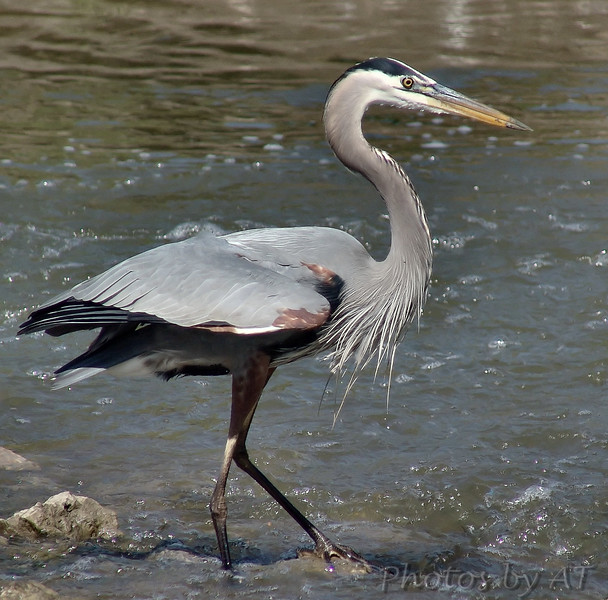 Great Blue Heron<br /> Creve Couer Lake