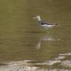Solitary Sandpiper<br /> Busch Wildlide CA<br /> Lake 33